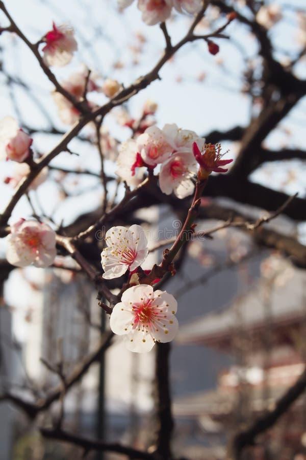 Primer las flores hermosas de los albaricoqueros japoneses, árboles de ciruelo en el sol de la mañana foto de archivo libre de regalías