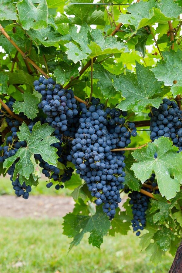 Primer a las uvas del viñedo del vino rojo fotografía de archivo libre de regalías