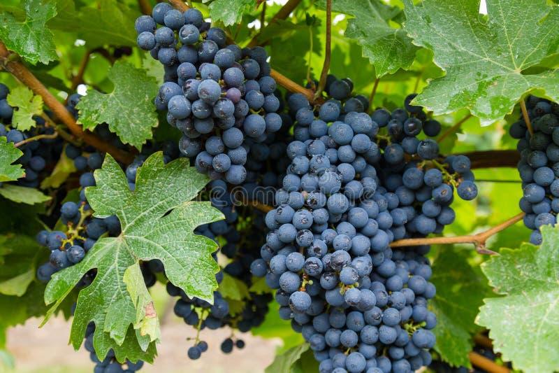 Primer a las uvas del viñedo del vino rojo fotos de archivo