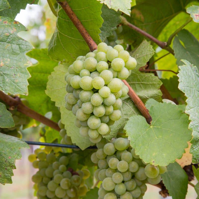 Primer a las uvas del vino blanco en un viñedo imagenes de archivo