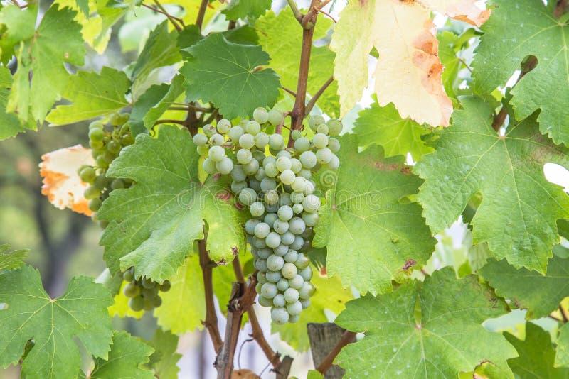 Primer a las uvas del vino blanco en un viñedo fotografía de archivo