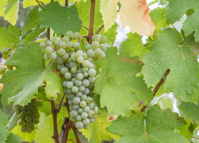 Primer a las uvas del vino blanco en un viñedo foto de archivo libre de regalías