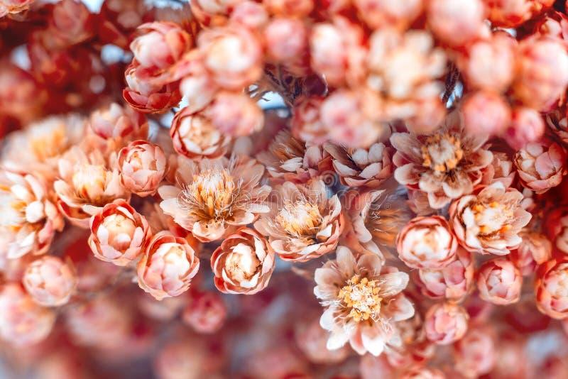 Primer lcoral en un fondo gris oscuro, flores de las flores de Smal de la primavera foto de archivo