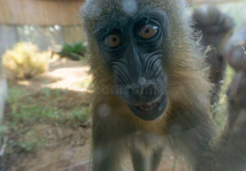 Primer lindo del chimpancé del bebé imagenes de archivo