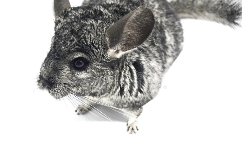 Primer lindo gris de la chinchilla del bozal Aislante en el fondo blanco imagen de archivo