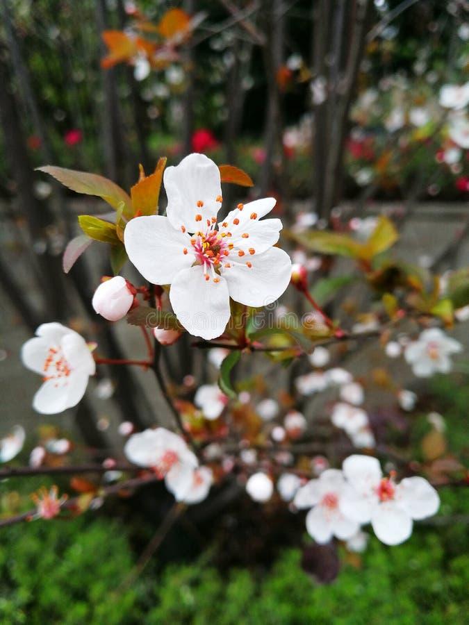 Primer a los flores blancos del ciruelo después de la lluvia imagenes de archivo