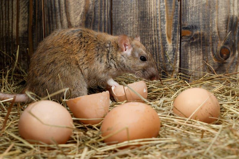 Primer los huevos de la rata y de gallina en el gallinero de pollo en el fondo de los tableros de madera foto de archivo