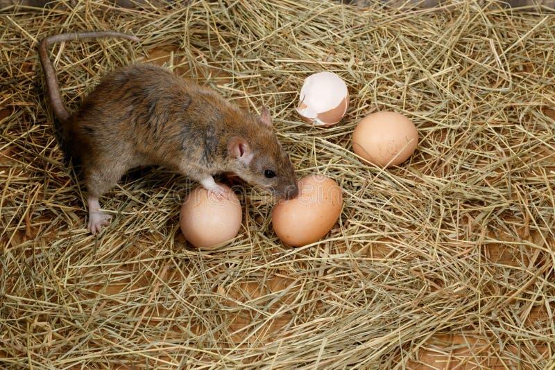 Primer los huevos jovenes de la rata y de gallina en el gallinero de pollo imagenes de archivo
