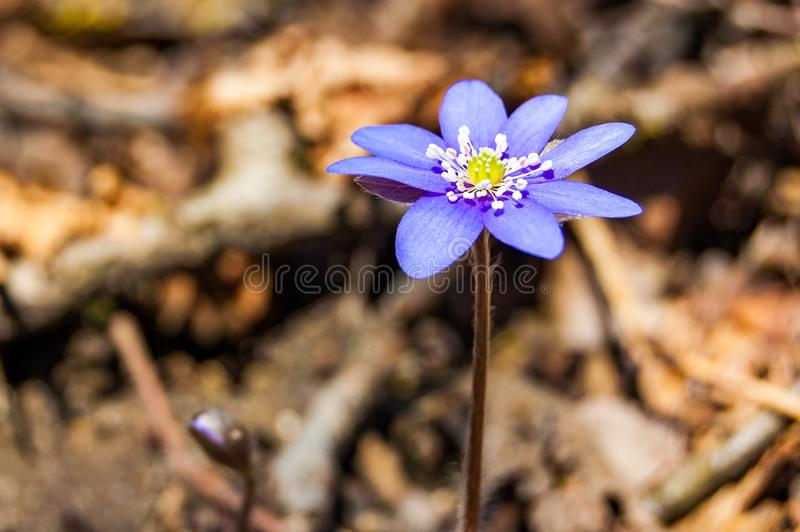Primer macro de la flor violeta azul blanda primero floreciente de Hepatica Snowdrop en bosque temprano de la primavera imágenes de archivo libres de regalías