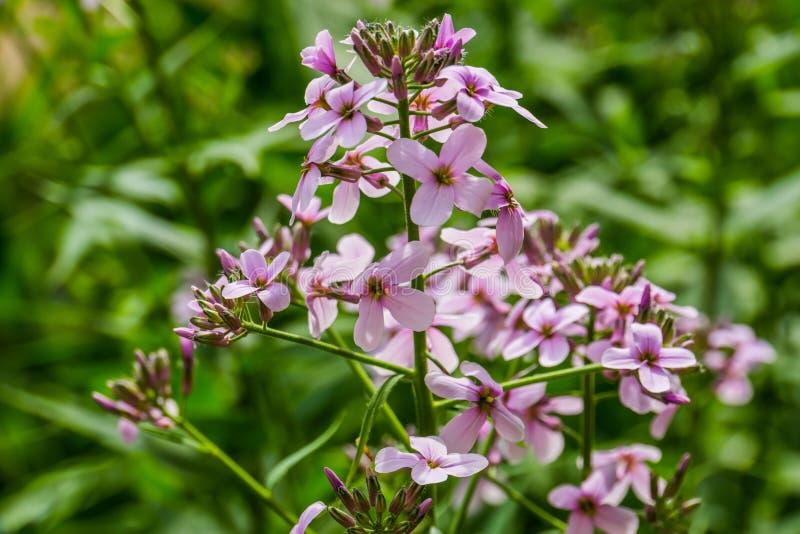 Primer macro de la planta de Eurasia, planta de los gilliflowers de la reina rosada, salvaje y cultivada con las flores agrupadas foto de archivo libre de regalías