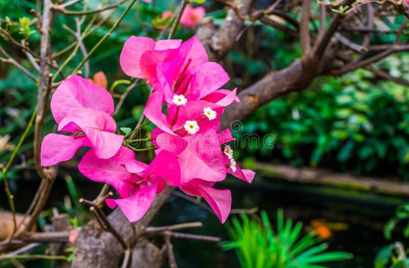Primer macro de las flores rosadas en un árbol, planta de jardín tropical popular, fondo de la buganvilla de la naturaleza imagenes de archivo