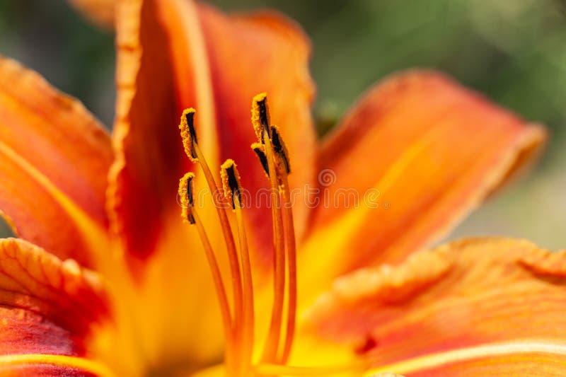 Primer macro de los estambres del fuego rojos o del fondo colorido anaranjado del lirio de día fotos de archivo