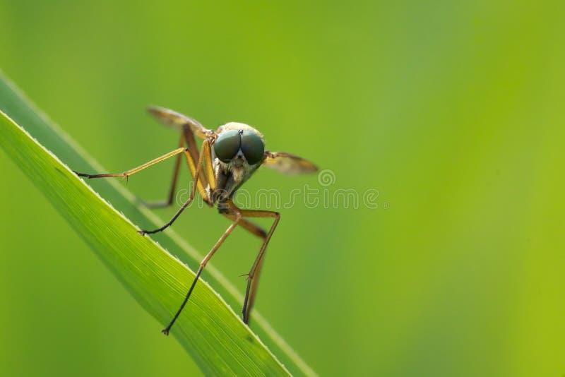 Primer macro de Marsh Snipefly amarillo, Rhagio de la vista delantera tri imagenes de archivo
