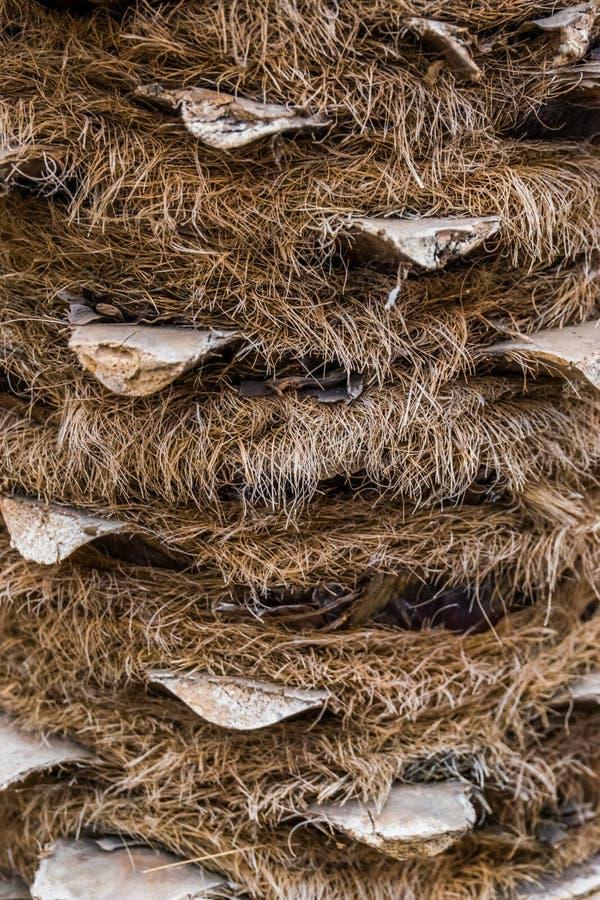 Primer macro de un tronco de palmera melenudo, árbol tropical popular, fondo del modelo de la naturaleza fotografía de archivo libre de regalías