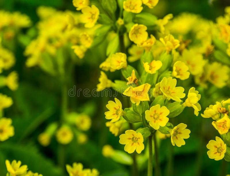 Primer macro hermoso de la flor de la mostaza de campo en la floración durante la primavera, fondo botánico de la naturaleza fotografía de archivo
