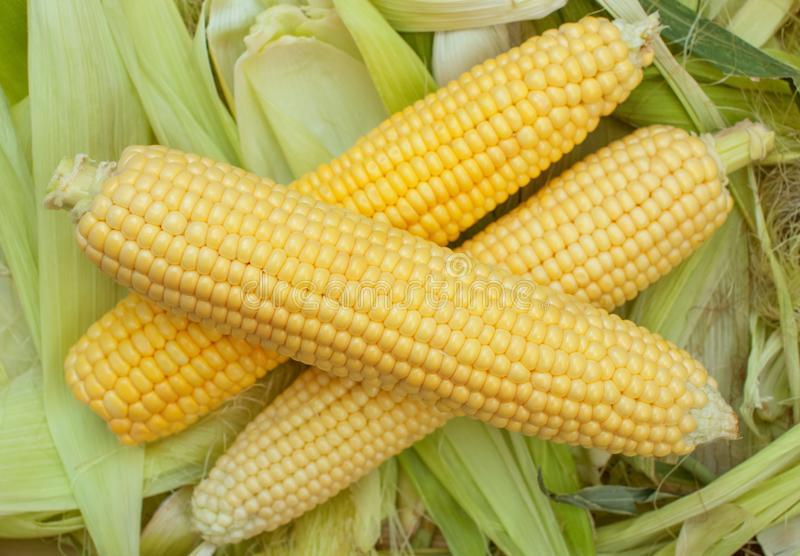 Primer maduro, crudo del maíz en la mazorca que miente en las hojas verdes Recoja la cosecha del maíz fotos de archivo
