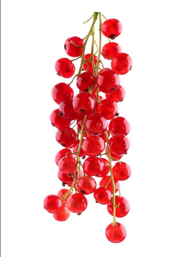 Primer maduro y pasa roja nutritiva, aislada en un fondo blanco Baya roja brillante fresca y dulce imagenes de archivo