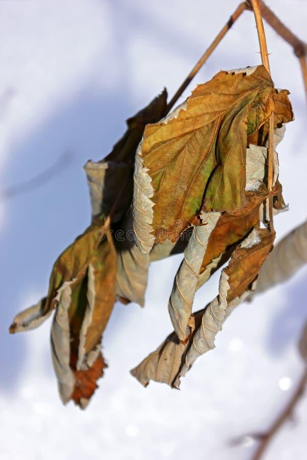 Primer marchitado de las hojas de arce en fondo borroso fotos de archivo libres de regalías