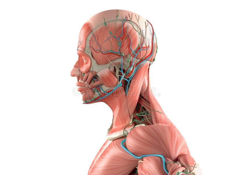 Primer medio humano de la vista lateral de la anatomía de la cabeza en el fondo blanco ilustración del vector