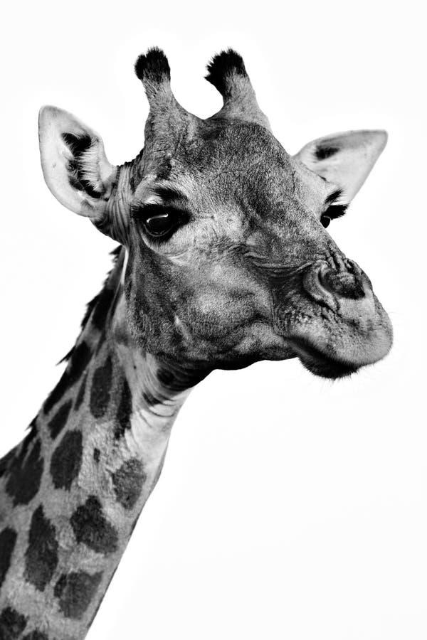 Primer monocromático del retrato de la jirafa foto de archivo