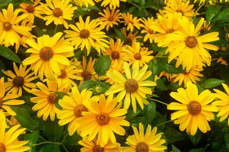 Primer Muchas margaritas amarillas Flores amarillas grandes imagen de archivo libre de regalías