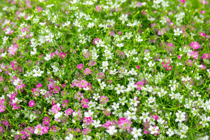 Primer mucho peque?o fondo del rosa del gypsophila y blancas de las flores fotos de archivo