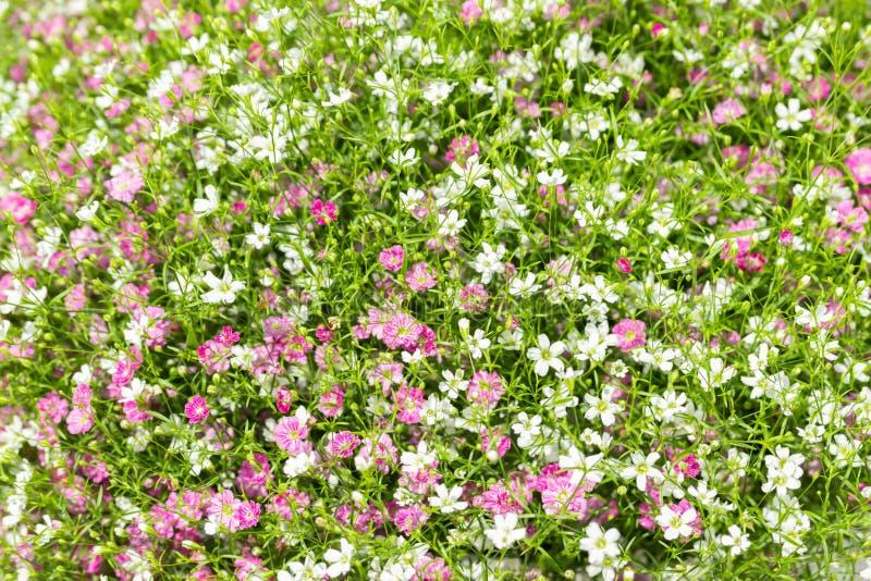 Primer mucho peque?o fondo del rosa del gypsophila y blancas de las flores imagen de archivo libre de regalías