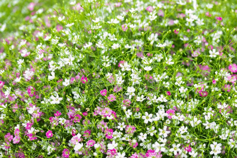 Primer mucho peque?o fondo del rosa del gypsophila y blancas de las flores imágenes de archivo libres de regalías