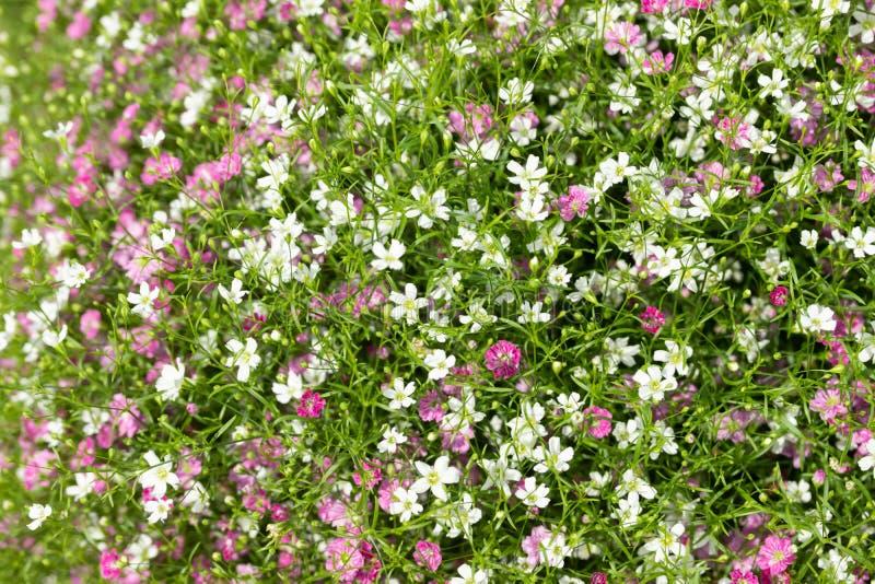 Primer mucho peque?o fondo del rosa del gypsophila y blancas de las flores foto de archivo libre de regalías