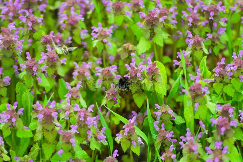 Primer mullido grande del abejorro fotografía de archivo