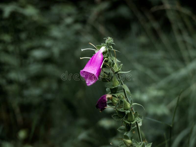 Primer púrpura de la flor de la dedalera imagen de archivo