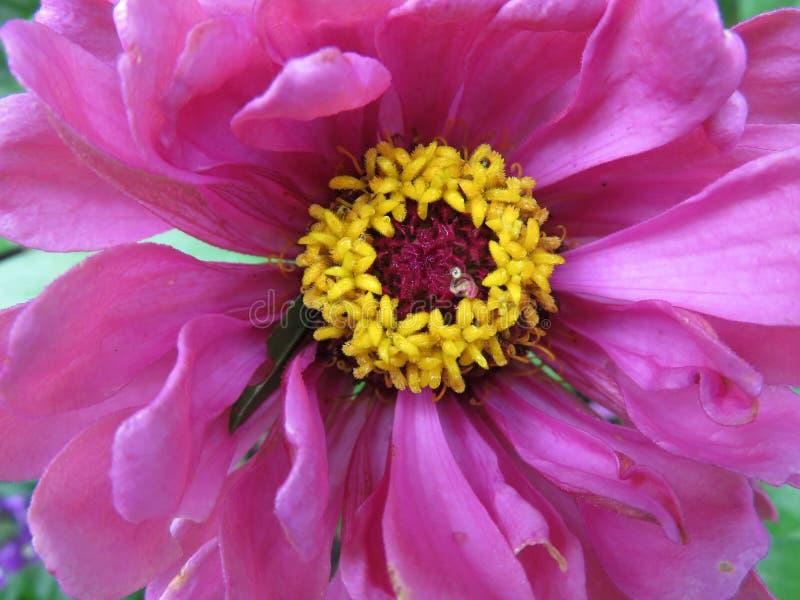 Primer púrpura de la flor del Zinnia imagen de archivo