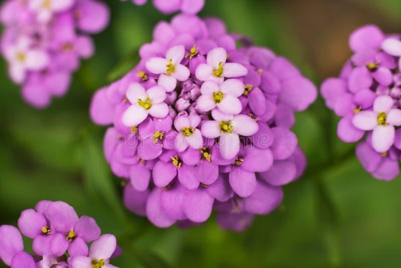 Primer púrpura de la inflorescencia de la flor del iberis del Iberis en un fondo oscuro imágenes de archivo libres de regalías