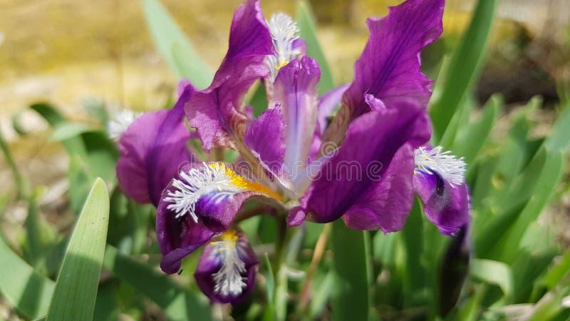 Primer púrpura hermoso de la flor del iris imagen de archivo libre de regalías