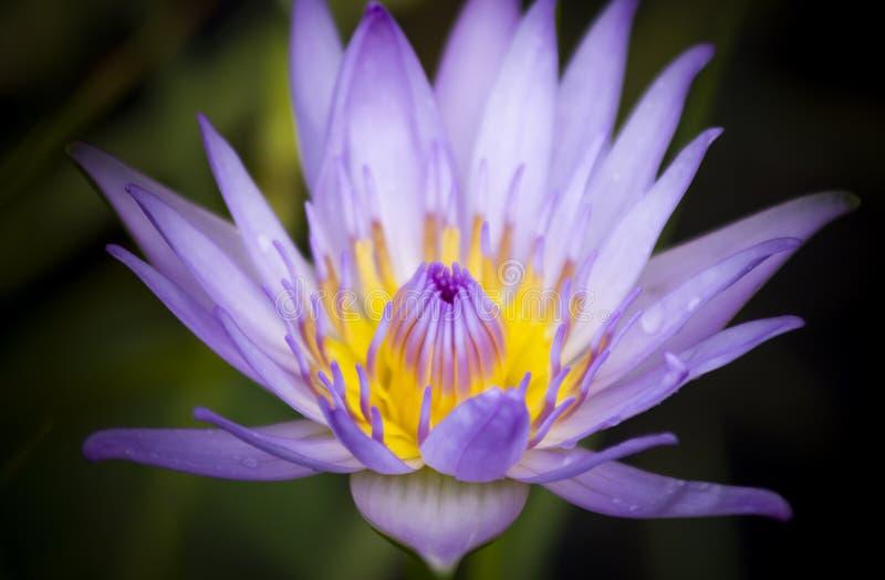 Primer púrpura y amarillo de la flor de loto imagen de archivo libre de regalías