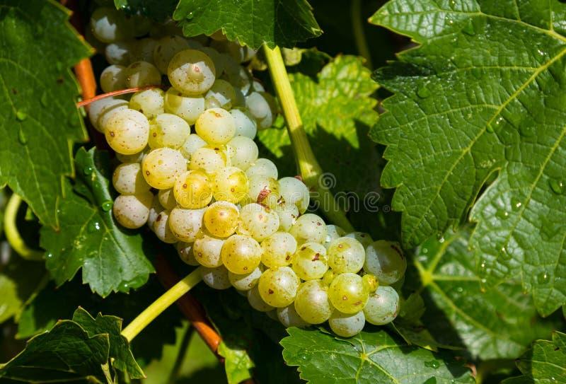 Primer para poner verde las uvas imagenes de archivo