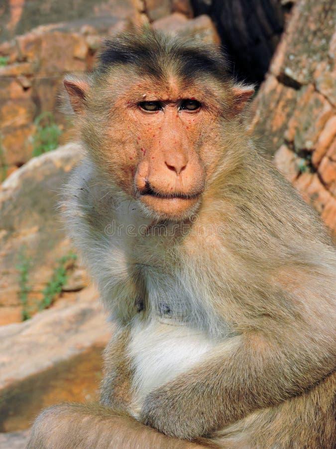 Primer pensativo del mono en un fondo de rocas fotos de archivo libres de regalías