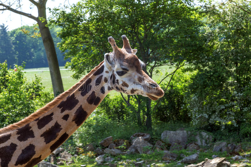 Primer principal de la jirafa en perfil fotos de archivo