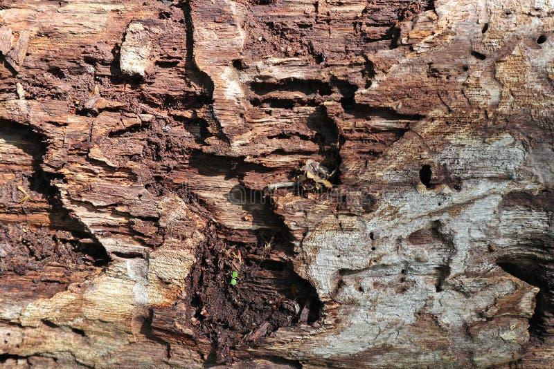 Primer putrefacto del tronco de ?rbol foto de archivo libre de regalías