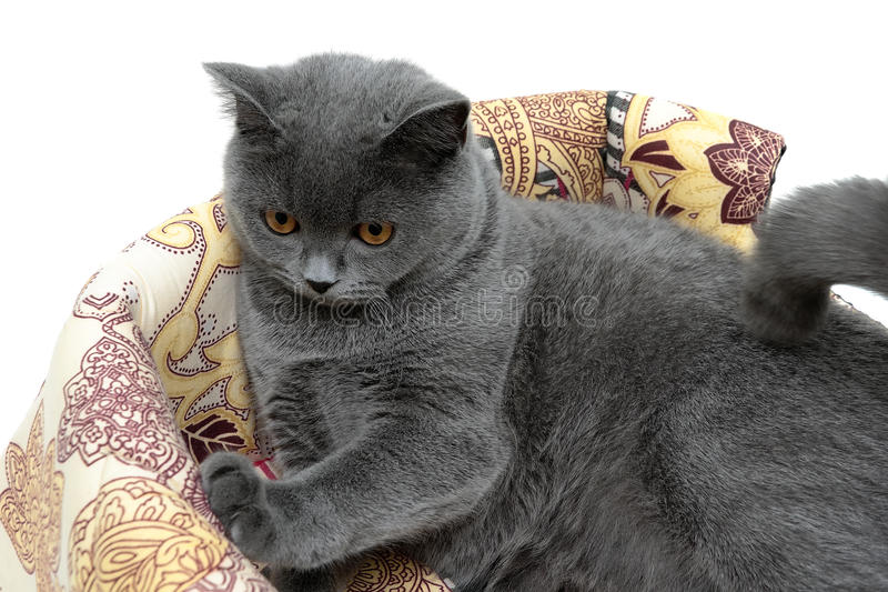 Primer recto escocés de la raza gris hermosa del gato imagen de archivo libre de regalías