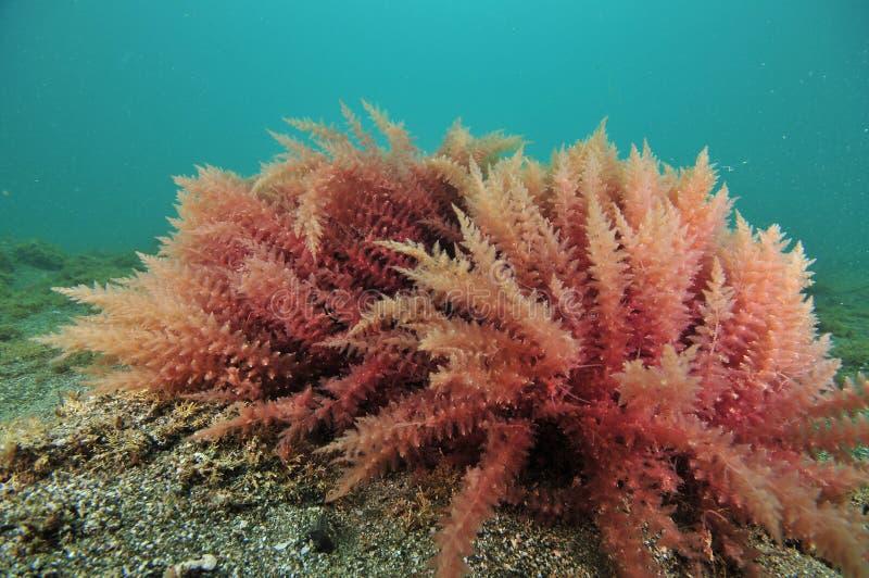 Primer rojo de la alga marina imagen de archivo