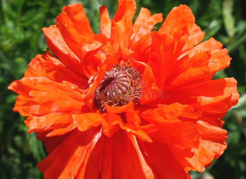 Primer rojo de la flor de la amapola de la peon?a en la plena floraci?n fotos de archivo libres de regalías