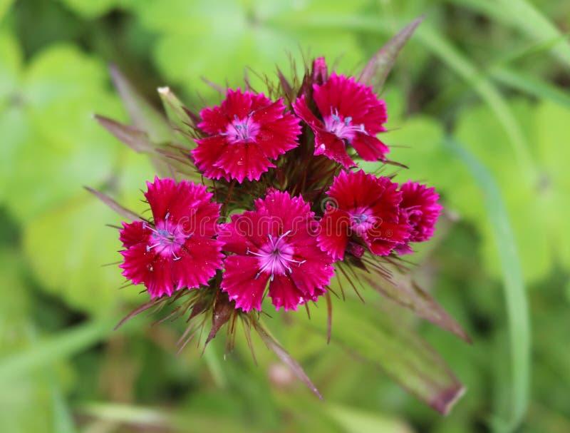 Primer rojo del wildflower del clavel foto de archivo