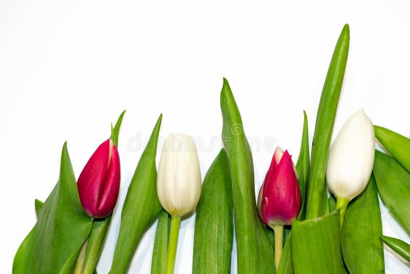 Primer rojo e insecto blanco del tulipán aislado en el fondo blanco copie el espacio, endecha del plano, visión superior Concepto imágenes de archivo libres de regalías