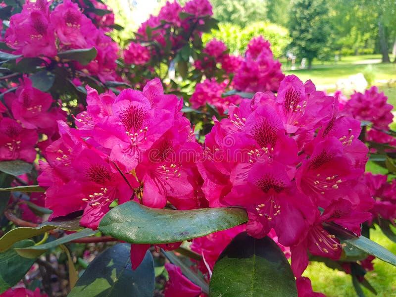 Primer rojo floreciente del rododendro de las flores contra el jardín botánico del fondo imágenes de archivo libres de regalías