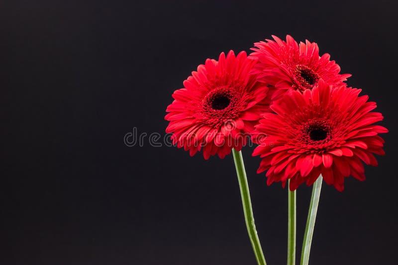 Primer rojo fresco del gerbera en fondo floral del fondo oscuro imágenes de archivo libres de regalías