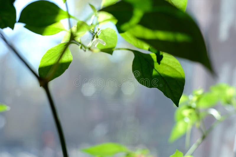 Primer rojo individual de la flor de la pimienta de Chile que crece en la planta de la pimienta imágenes de archivo libres de regalías