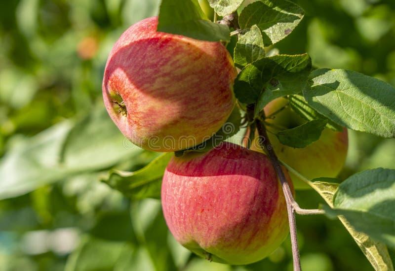 Primer rojo maduro de las manzanas que cuelga en una rama de Apple imágenes de archivo libres de regalías