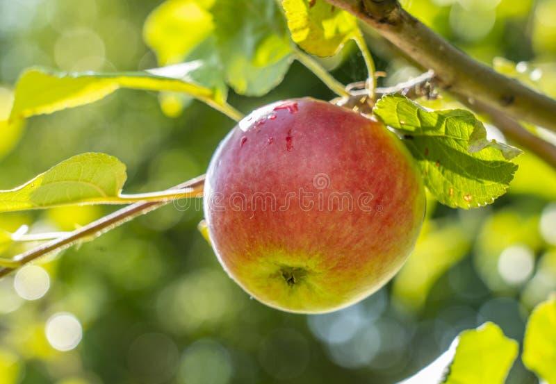 Primer rojo maduro de las manzanas que cuelga en una rama de Apple foto de archivo libre de regalías