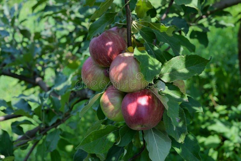 Primer rojo orgánico fresco de las manzanas fotografía de archivo libre de regalías